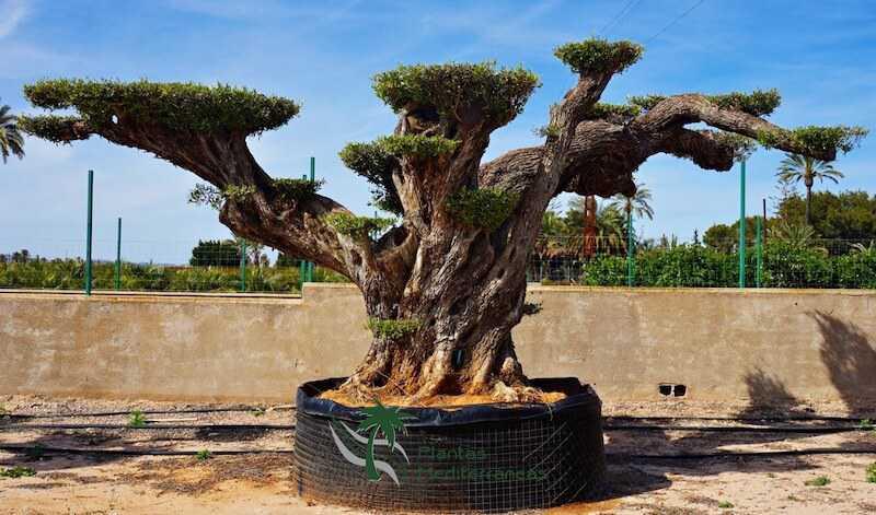 Millennial Olive Tree